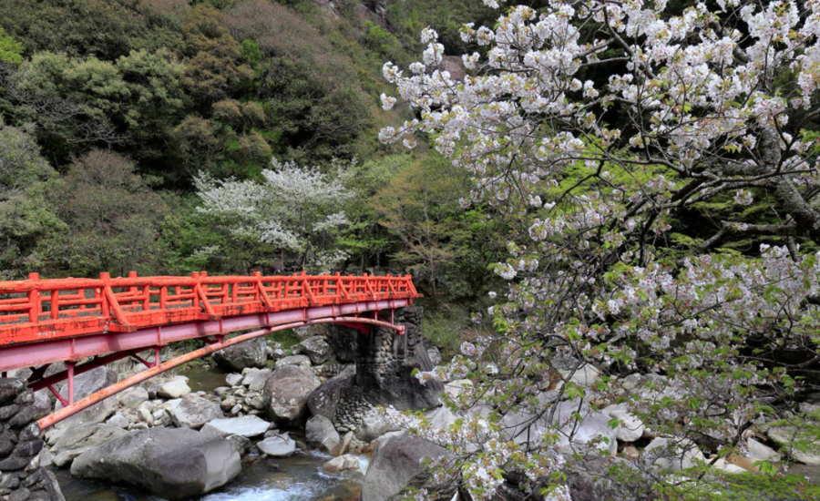 奇絶峡の桜